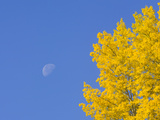 Yellow Aspen Trees and Moon in Blue Sky Near the Alaska Highway