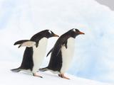 Gentoo Penguins  Pygoscelis Papua  Walking on a Floating Iceberg