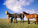 Wild Mustangs (Equus Caballus) Grazing