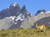 Guanaco  Lama Guanicoe  Female Against Cuernos Del Paine Peaks