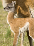 Guanaco  Lama Guanicoe  Calf and Mother Standing on a Grassy Slope