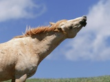 A Wild Mustang (Equus Caballus) Stallion Stretches