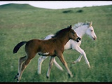 Spanish Mustang Foals Running in a Meadow