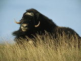 A Musk Ox Cow During Autumn Rutting Season