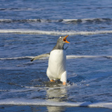 Gentoo Penguin Vocalizing  Flapping Wings  Walking in Surf