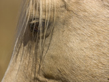 Close Up of an Adult Wild Mustang Palomino Stallion