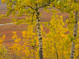 Poplar Trees in Bright Colorful Fall Tundra