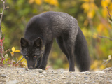 Young Red Fox  Vulpes Vulpes  in Black Phase  Sniffing the Ground