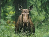 A Moose Cow (Alces Alces) Stares at the Camera