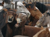 Frightened Wild Mustangs (Equus Caballus) Bunch Up Together
