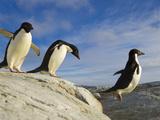 Adelie Penguins on Coastal Rocks  Jumping across a Deep Ravine