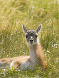 Young Guanaco Calf  Lama Guanicoe  Resting in the Grass