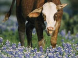 A Calf Grazing in a Meadow with Wildflowers