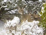 Mule Deer  Odocoileus Hemionus Hemionus  Doe and Fawn in Snowy Pinyons