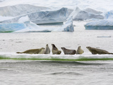 Crabeater Seals  Lobodon Carcinophagus  Hauled Out on an Ice Floe