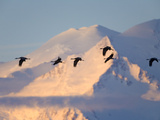 Migrating Sandlhill Cranes Flying Past Snowy MtMckinley at Sunrise