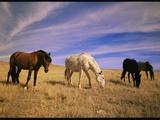 Wild Mustangs (Equus Caballus) Graze in a Field