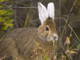 Snowshoe Hare  Lepus Americanus  in its Summer Coat Eating Willows