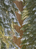 Giant Sequoia Trees with a Dusting of Autumn Snow