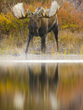 Moose Bull at Edge of Glacial Kettle Pond Looking for Females