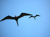 Ecuador  Galapagos  a Male and Female Frigate Bird Soar Overhead