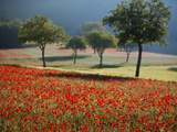Italy  Umbria  Norcia  Walnut Trees in Fields of Poppies Near Norcia  Bathed in Evening Light