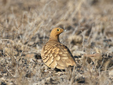 A Chesnut-Bellied Sandgrouse in Tsavo East National Park