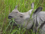 Great Indian One-Horned Rhino Feeds on Swamp Grass in Kaziranga National Park  World Heritage Site