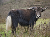 A Domesticated Yak in the Mountains Above the Phobjikha Valley  Yaks are Well Adapted to High Altit