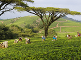 Malawi  Thyolo  Satemwa Tea Estate  Workers Plucking Tea
