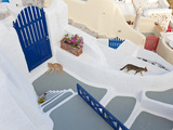 Cats  Oia  Santorini  Cyclades Islands  Greece