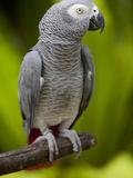 Bali  Ubud  an African Grey Parrot at Bali Bird Park