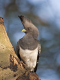 A White-Bellied Go-Away-Bird