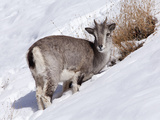 India  Ladakh  Rumbak  Himalayan Blue Sheep  or Bharal  Foraging for Food on a Snowy Slope in the R