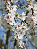 Almond Trees Blooming with Flowers Loule  Algarve  Portugal