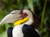 Bali  Ubud  a Wreathed Hornbill in Bali Bird Park