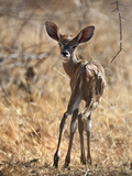 A Baby Lesser Kudu in Tsavo East National Park
