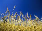 Harvest in Alentejo  Portugal