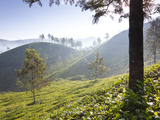 Tea Plantation  Munnar  Western Ghats  Kerala  South India
