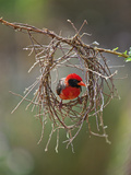 A Red-Headed Weaver Building its Nest