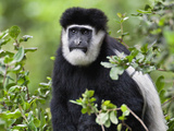 A Guereza Colobus Monkey in the Aberdare Mountains of Central Kenya