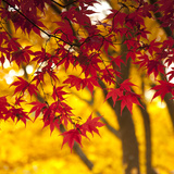 Autumn Foliage of Japanese Maple (Acer) Tree  England  Uk
