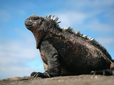 Ecuador  Galapagos  a Large Male Marine Iguana Soaks Up the Rays