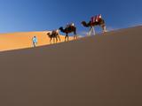 Tuareg Man Leading Camel Train  Erg Chebbi  Sahara Desert  Morocco