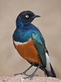A Superb Starling in Tsavo East National Park