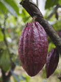 Cocoa (Cacao) Fruit on Tree  Kalitakir Plantation  Kalibaru  Java  Indonesia