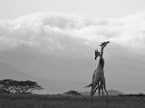 Two Reticulated Giraffes 'Necking' in the Early Morning