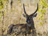 Malawi  Majete Wildlife Reserve  Male Waterbuck in the Brachystegia Woodland