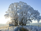 Snow Covered Tree on Downham Hill  Uley  Gloucestershire  Uk
