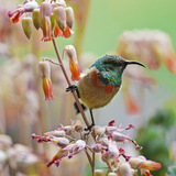 An Eastern Double-Collared Sunbird